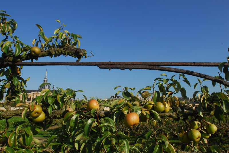 Autumn pears in the kitchen garden of the King of Versailles
