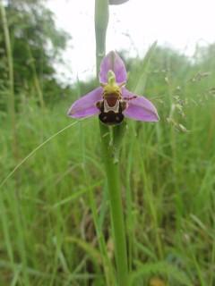 Naturez-vous -  Orchidées sauvages