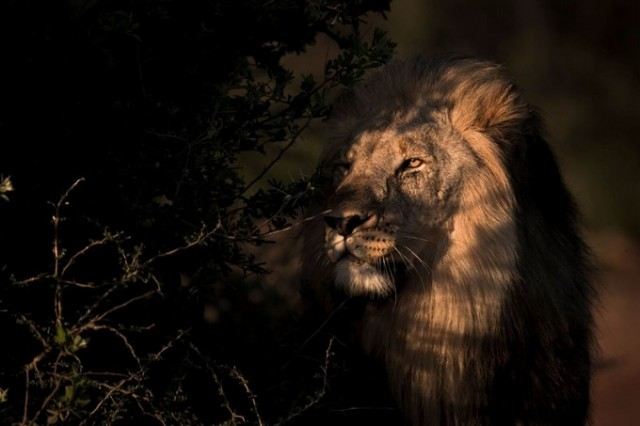 Photographie lion